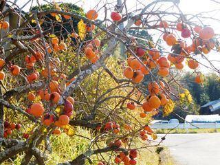 ●柿.JPG