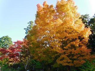 ●木 紅葉(近く).JPG